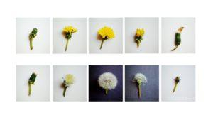 Vom Löwenzahn zur Pusteblume, Pflanzenkunde mit Kindern, Montessori zu Hause, Printable, Download | MontiMinis.com
