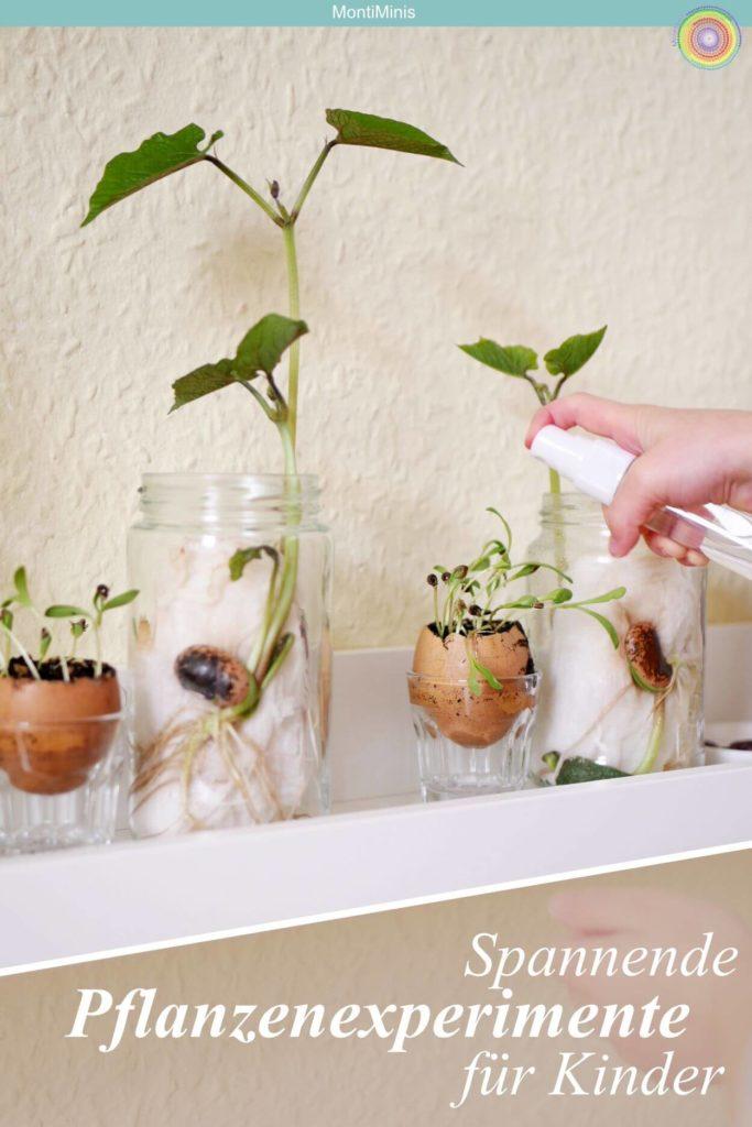 Spannende Pflanzenexperimente für Kinder - Feuerbohnen ziehen, Feuerbohnen Experiment, Gemüse Upcycling, Lichtexperiment - Forschen, Naturkinder, Montessori Blog | MontiMinis.com