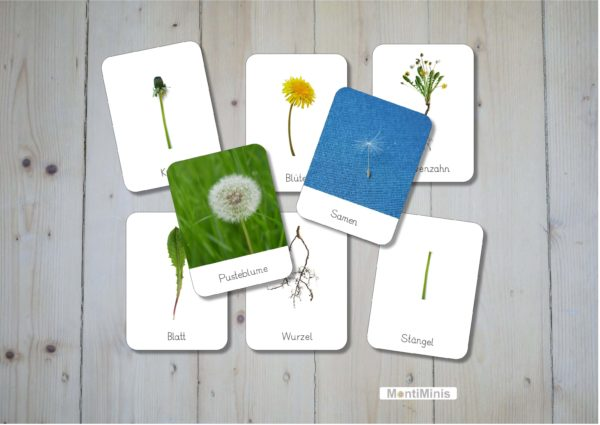 Löwenzahn-Nomenklaturkarten-Montessori-3-Part-Cards-Pusteblume-Dandelion-montiminis