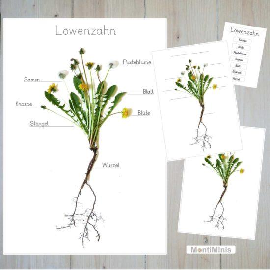 Pusteblumen-Löwenzahn-Lernposter-Lernmaterial-montessori-montiminis