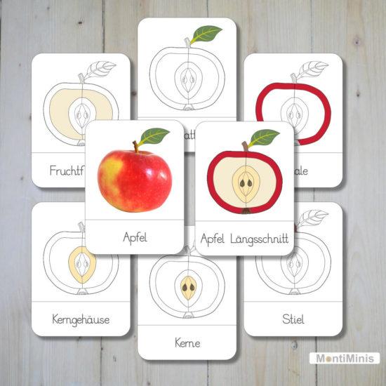 Montessori Nomenklaturkarten Teile des Apfels Unterrichtsmaterial Biologie Montessori Zuhause -Spielidee für Kinder, Apfelzeit, Apfelernte, Apfelteile - MontiMinis