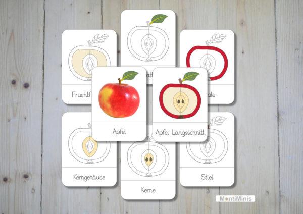 Montessori Nomenklaturkarten Teile des Apfels Unterrichtsmaterial Biologie Montessori Zuhause -Spielidee für Kinder