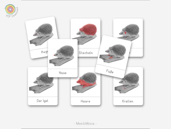 Igel-Nomenklaturkarten-Montessori-inspiriert-Biologie-Unterrichtsmaterial-Lernidee-Herbst mit Kindern-MontiMinis